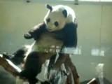 Panda Scratching