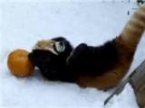 This Is, Beyond A Doubt, The Cutest Thing You Will See Today. It's A Red Panda Wrestling With A Pumpkin In