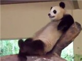 This Panda Takes The Meaning Of A Crappy Nap To A Whole Other Level. Zoo Beds Just Aren't What They Used