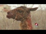 2 Unclaimed Llamas Show Up At East Mountains Home 1 Injured, 1 Disappears