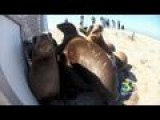 LAST SEAWORLD SEA LIONS RELEASED