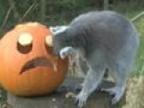 Animals Tuck Into Halloween Treats