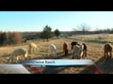 Alpacas Thriving At Ozarks Farm