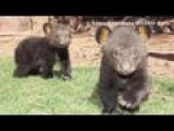 Bear Triplets Make Debut At Animal Park