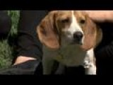 Bill Considered To Stop Beagle Animal Testing In Nevada