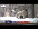 Como Zoo Polar Bears Stretch Legs In Brisk Weather