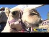 Camel Races Thrill Crowds In Virginia City