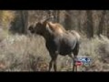 Campers: Moose Surrounded Before Being Shot