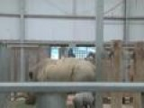 Cute Animal Video: Baby White Rhino Born At Zoo