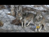 Dog Fight Brewing Over Grey Wolves