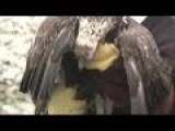 Eagles Released Back Into Wild In Michigan