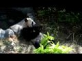 Giant Pandas At Singapore Safari Park Opening