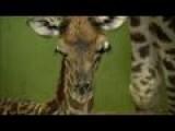 Giraffe Gives Birth To Record 18th Calf