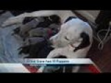 Great Dane Gives Birth To 19 Puppies