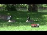 Geese Population Out Of Control In Ozark