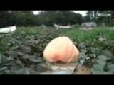 Giant Pumpkin Weighs In At 1000 Pounds