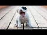 Human Yawns Are Contagious For Dogs