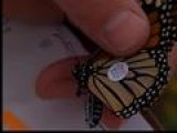 Monarchs Get Tagged For Trip To Mexico