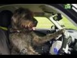 Man's Best Friend Learns How To Drive In New Zealand