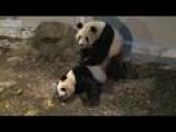 Mating Pandas Off To Good Start: Tokyo Zoo