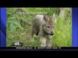 Minnesota Zoo Welcomes 5 Rescued Wolf Pups