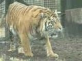 New Zoo Home For Endangered Tigers