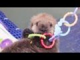 Orphaned Otter Adopted By Shedd Aquarium