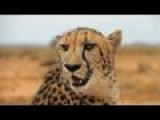 Protection For South Africa's Cheetahs And Rhinos