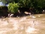 Research Murky On Danger Of Asian Carp Invasion