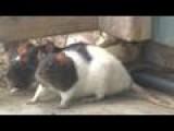Rats Overrun Critter Cafe