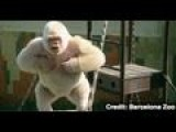 Snowflake The Albino Gorilla Got White Fur Due To Inbreeding