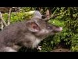 Scientists Discover 'hog-nosed Rat' In Indonesia