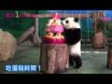 Taiwan-born Panda Cub Celebrates First Birthday With Cake