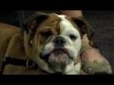 Understanding English Bulldogs