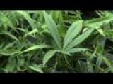 Worshiping Weed: RFRA Allows Church Of Cannabis