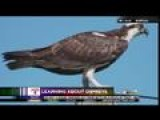 Wild Woman: Learning About Ospreys