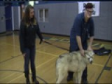 Wolf-dog Visits School, Teaches Students