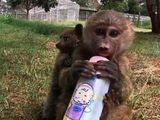 Baboon Adopts A Bushbaby At The Nairobi Animal Orphanage In Kenya