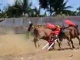 Bull Racing, Madura Island, Indonesia