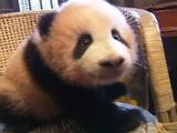 Giant Panda Cub Growing Up At Chongqing Zoo