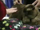 Meet The Breeds: Cat Show Nyc - 3 Asian Cat Breeds Oriental, Burmese And Balinese At The Javits Center Tica Cat