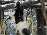 NBC TODAY Show Young Panda Takes Plunge At Vienna Zoo