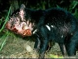Off-shore Breeding Seen As Key To Tasmanian Devil&#039 S Survival