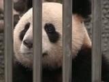 Panda Diplomacy From China
