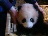 Raw Video: Baby Panda Getting Healthy