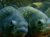 Scientists Say Piranha Not Only Bite But Also Bark