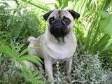 Understanding The Pug Dog Breeds