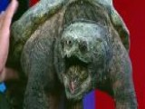 'Turtleman' Catches Snapping Turtles With Bare Hands