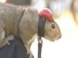 'Zipper' The Squirrel Loves Motorcycle Riding