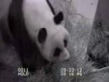 National Zoo Baby Panda Dies